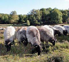 In der Fischbeker Heide weidende Heidschnucken. Die grauen gehörnten Heidschnucken halten die Heidepflanzen kurz.