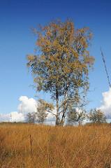 Bilder aus Hamburg Wohldorf Ohlstedt -Duvenstedter Brook - Birke mit Herbstlaub am Blauen Herbsthimmel.
