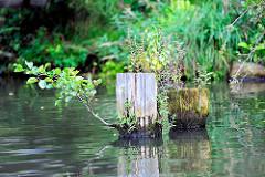 Aus alten Dalben und Holzpfählen wachsen Grünpflanzen.