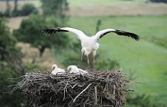 Flugübung eines Jungstorch - der junge Storch breitet seine Flügel aus, während die beiden anderen im Nest sitzen bleiben.