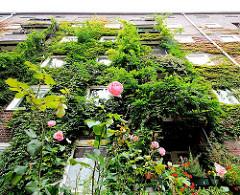 Bewachsene Fassade im Innenhof des Otto Stoltenblocks in Hamburg Winterhude, Jarrestadt - Rosen blühen im Vorgarten.