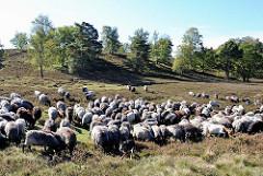 Naturschutzgebiet Fischbeker Heide - ca. 250 Heidschnucken und Ziegen grasen in der Heidelandschaft.