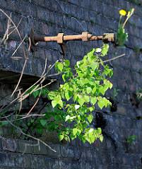 Alte Kaimauer im Hamburger Hafen - eine junge Birke wächst aus einer Mauerritze; Relikte / Überbleibsel vom alten Hamburger Hafen.