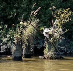 Ufer im Hamburger Hafen - alte verwitterter Holzdalben  sind mit Gräsern und Wildkraut bewachsen.