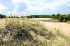 Strandhafer in der Boberger Düne - er stabilisiert mit seinem Wurzelwerk die Düne.