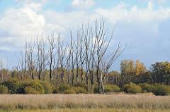 Abgestorbene Birken auf einer Wiese im Duvenstedter Brook.