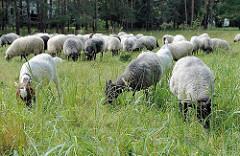 Eine Herde Schafe und Ziegen auf der Weide in der Boberger Niederung in Hamburg Lohbrügge.