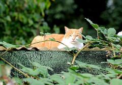 Katze in der Sonne auf einem Dach zwischen Brombeerranken - Bilder aus dem Hamburger Stadtteil NEULAND.