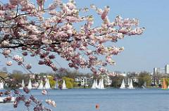 blühende Kirschen an der Alster - Segelboote auf dem Wasser des Hamburger Sees.