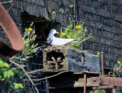 Eine Möwe brütet in ihrem Nest auf einem verrottetem Balken an einer Kaimauer in der Hamburger Hafencity.