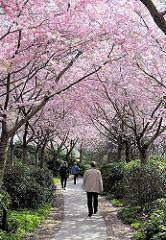 Spaziergang im Hamburger Frühling unter blühenden Kirschbäumen in der Grünanlage Planten un Blomen - Bilder aus dem Stadtteil Hamburg St. Pauli.