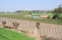 Kopfweiden am Feldrand - junge Obstbäume auf dem Acker - Lauf der Alten Süderelbe im Hintergrund.