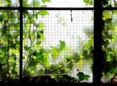Altes Fenster eines Lagergebäudes am Kaufhauskanal - Efeupflanzen wuchern an der Hausfassade.