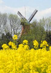 Blühendes Rapsfeld in Hamburg Allermöhe  - im Hintergrund auf der anderen Seite der Doveelbe die Mühle von Hamburg Reitbrook.