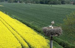 Storchennest mit Storch und Jungvögeln - Wiese und Raps im Hamburger Stadtteil Curslack.