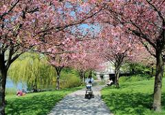 Hamburg im Frühling - Japanische Kirschen am Ufer der Alster im Hamburger Stadtteil Hohenfelde - rosa Blütenpracht der Zierbäume in der Sonne.