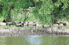Schafe auf der Weide am Ufer der Elbe - freilaufende Schafe am Elbdeich in Hamburg Moorfleet - Fotos aus den Hambuger Stadtteilen.