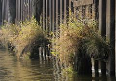 Eiserne Spundwand im Hamburger Hafen, verwitterte Holzdalben - die Wasserlinie ist mit Gräsern bewachsen.