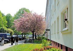 Viergeschossiger Wohnblock Koldingstrasse / Düppelstrasse - Kirschen blühen im Vorgarten, ein Hund blickt aus dem Fenster einer Erdgeschosswohnung.