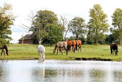 Pferde auf einer Wiese am Ufer der Doveelbe - eines der Tiere säuft aus dem Hamburg Fluss - Bilder aus Hamburg Allermöhe.