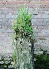 Alte verwitterter Holzdalben / Streichdalben bei einer Kaimauer im Hamburger Hafen - der Holzstamm ist bemoost und mit Gras überwuchert.