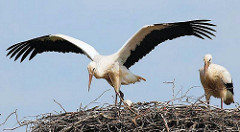 Jungstorch mit weit ausgebreiteten Flügel in seinem Nest in Hamburg Allermöhe.