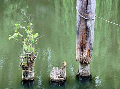 Alte Holzdalben vor der SChleuse vom Veringkanal in Hamburg Wilhelmsburg - ein junger Baum wächst aus einer abgebrochenen Dalbe.