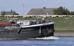 Binnenschiff Thorsten auf der Elbe vor Hamburg Neuengamme - eine Schafherde grast auf dem Elbdeich. Hausdächer hinter der Deichkrone.