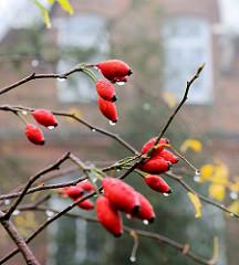 Novemberwetter - Rosenstrauch ohne Blätter; Früchte der Hundsrose / Heckenrose - Hagebutten mit Wassertropfen.