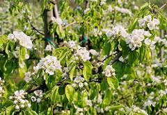 Zweig eines Kirschbaums in Blüte - Obstanbaugebiet Hamburg Francop.