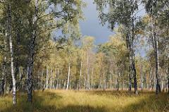 Hamburger Naturschutzgebiet Duvenstedter Brook - Wiese, Birkenwäldchen in der Sonne.