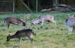 Damwildgehege im Niendorfer Gehege -Brunftzeit, zwei Hirsche kämpfen um die Hirschkuh.