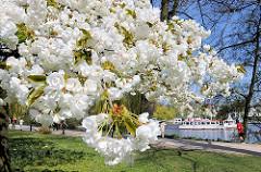 Fotos aus Hamburg - Kirschblüte der Japanischen Zierkirsche am Alterufer von Harvestehude, weisse Kirschblüten - Alsterschiff.