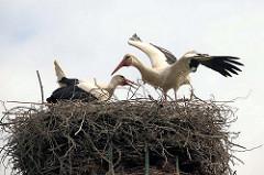 Das Storchenpaar Maria und Rolf im Nest - einer der Störche hat die Schwingen ausgebreitet.