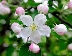 Apfelblüte und Knospen an einem Apfelbaum im Frühling.