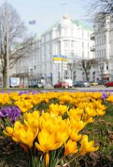 Gelbe und violette Krokusblüten - Gebäude des Atlantic Hotels im Hintergrund.