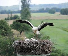 Flugversuch eines der drei Jungstörche im Nest in Hamburg Altengamme - der junge Weissstorch hat die Flügel ausgebreitet und hebt sich schon leicht ab.