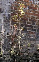 Ziegelmauer / Kaimauer im Hamburger Hafen; aus den Mauerritzen wachsen Gräser und Pflanzen.