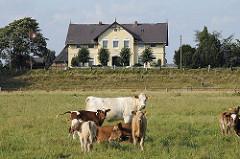 Kühe auf der Weide - Kälber bei der Mutterkuh - Einzelhaus hinter dem Deich.