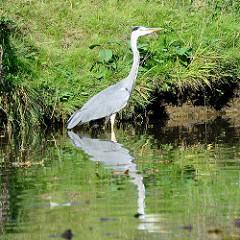 Ein Reiher steht im Wasser der Dove Elbe am Ufer des Flusses in Hamburg Allermöhe.