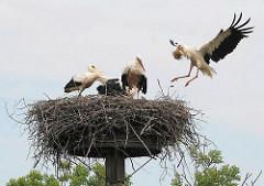 Storchennest in Hamburg Allermöhe - drei Jungvögel stehen im Nest; ein Elternvogel kommt mit Baumaterial im Schnabel.