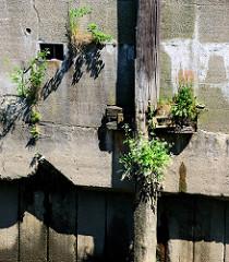 Streichdalben / Holzdalben an einer Kaimauer im Hamburger Hafen; blühende Gräser wachsen am Holz und Wildkraut in dem aufgeplatzten Putz.