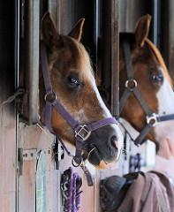 Reitstall in Hamburg Bergstedt - Reitpferde stecken ihre Köpfe aus dem Pferdestall.