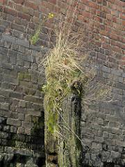 Ziegelmauer / Kaimauer im Hamburger Hafen; verwitterter Holzdalben mit Gras und Moos bewachsen.