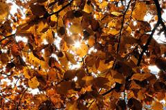 Herbstlaub mit Sonne im Allhorndiek - Buchenblätter in der Herbstsonne.