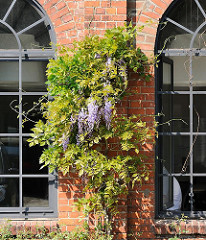 Violette Glyzinien ranken an der restaurierten Fassade des Fabrikgebäudes vom Borselhof in HH-Ottensen.
