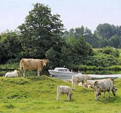 Herde Kühe mit Kälbern auf einer Weide in Hamburg Allermöhe - ein Sportboot fährt auf der Dove-Elbe vorbei.