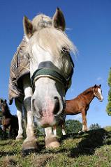 Pferde auf einer Pferdewiese - Hamburg Duvenstedt.