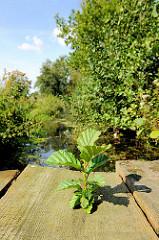 Grünpflanze wächst aus einem Holzbrett einer Holzbrücke über die Neuländer Wettern im Stadtteil Gut Moor - Bäume und Büsche am Entwässerungsgraben.