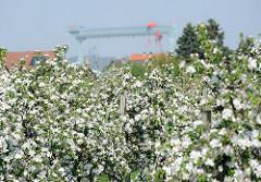 Kirschplantage in HH-Neuenfelde - Werftkran der Sietaswerft an der Este im Hintergrund.